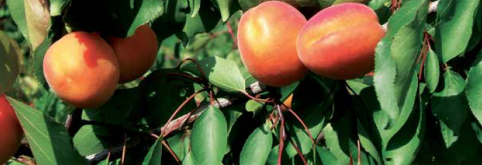 Early apricots - Cot International