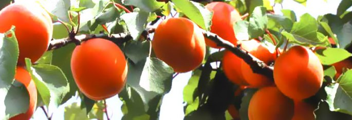 Semi Late apricots - Cot International