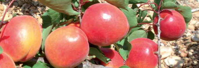 Mid-season apricots - Cot International