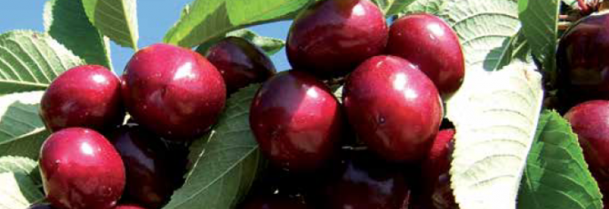 Cherries - Cot International