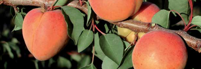 Late apricots - Cot International